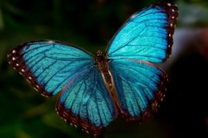 Blue-Morpho-Butterfly-1024x682(pp_w858_h571)